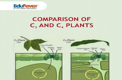 Comparison of C3 and C4 Plants Revision Notes