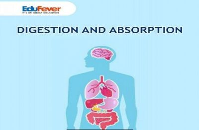 Digestion and Absorption Revision Notes